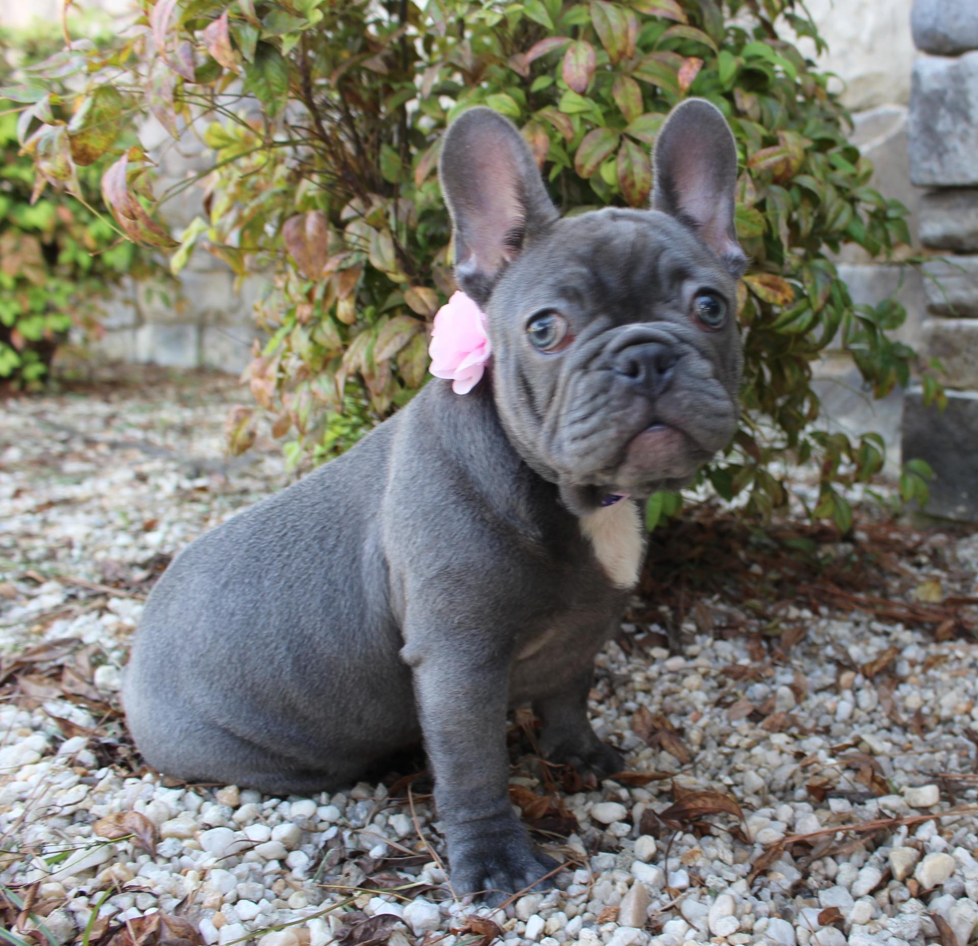 #FrenchBulldog #LilacFrenchBulldog #FrenchBulldogPup