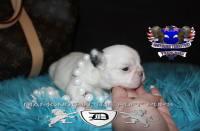 #FluffyFrenchie #FrenchBulldog #FluffyFrenchBulldog #AvailableFrenchi