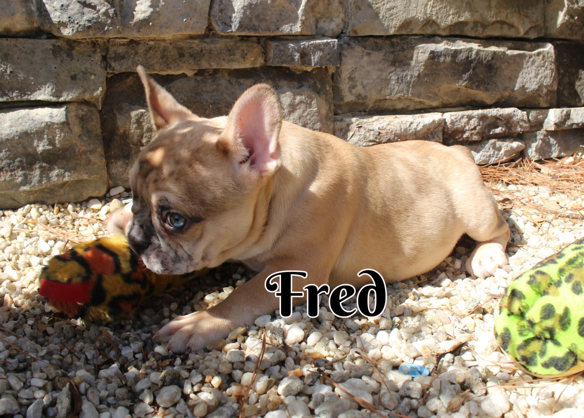 #FrenchBulldogPuppies #MerleFrenchBulldog #Frenchie #AvailablePuppies #AKCRegFrenchBulldog #SouthernTerritoryFrenchies