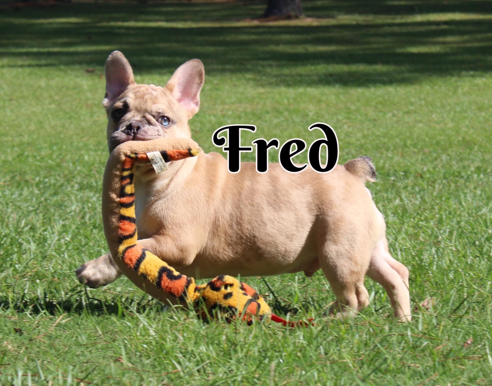 #FrenchBulldogPuppies #MerleFrenchBulldog #Frenchie #AvailablePuppies #AKCRegFrenchBulldog