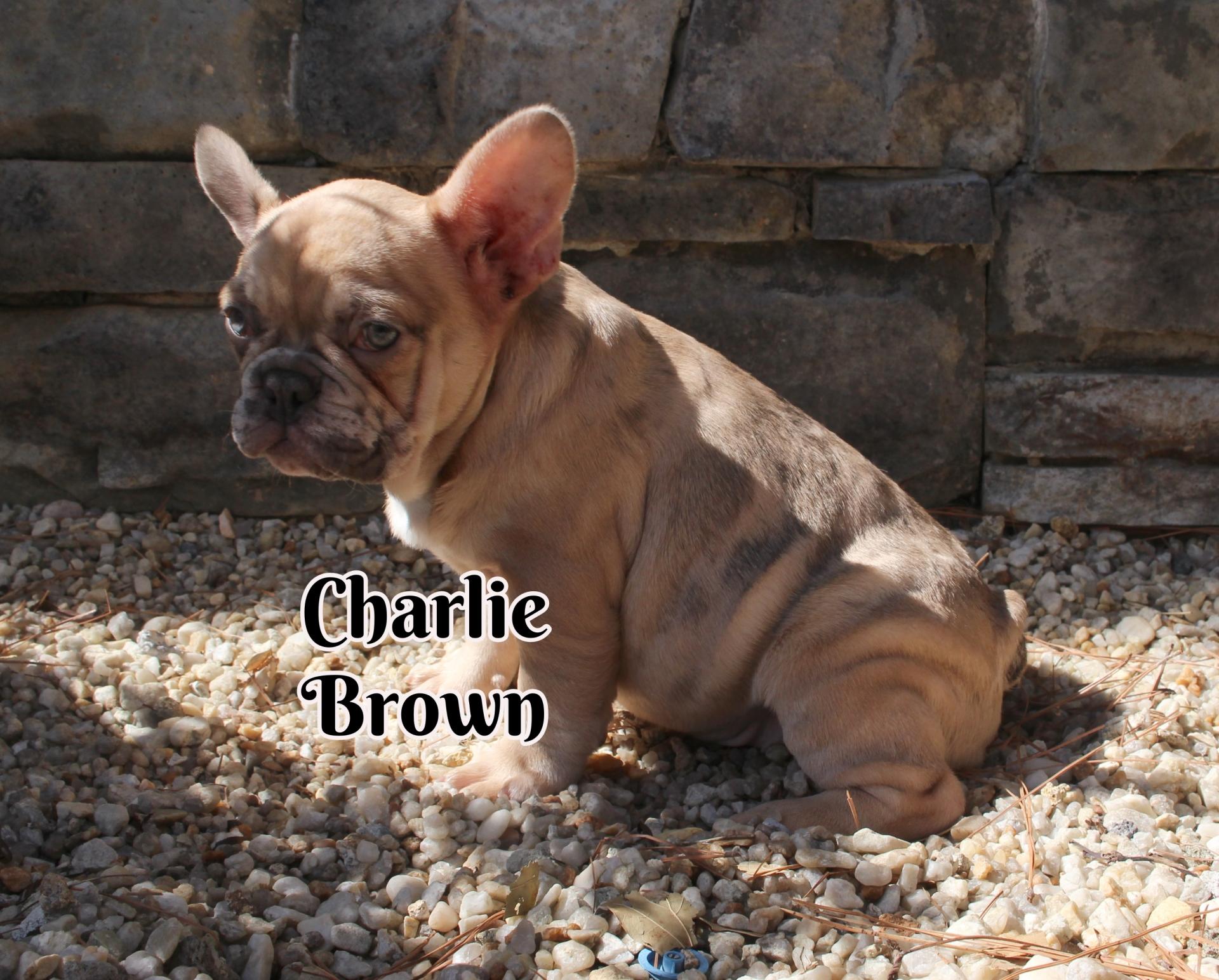 #FrenchBulldogPuppies #MerleFrenchBulldog #Frenchie #AvailablePuppies #AKCRegFrenchBulldog #SouthernTerritoryFrenchies #CharlieBrown
