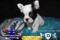#FluffyFrenchie #FrenchBulldog #FluffyFrenchBulldog #AvailableFrenchie