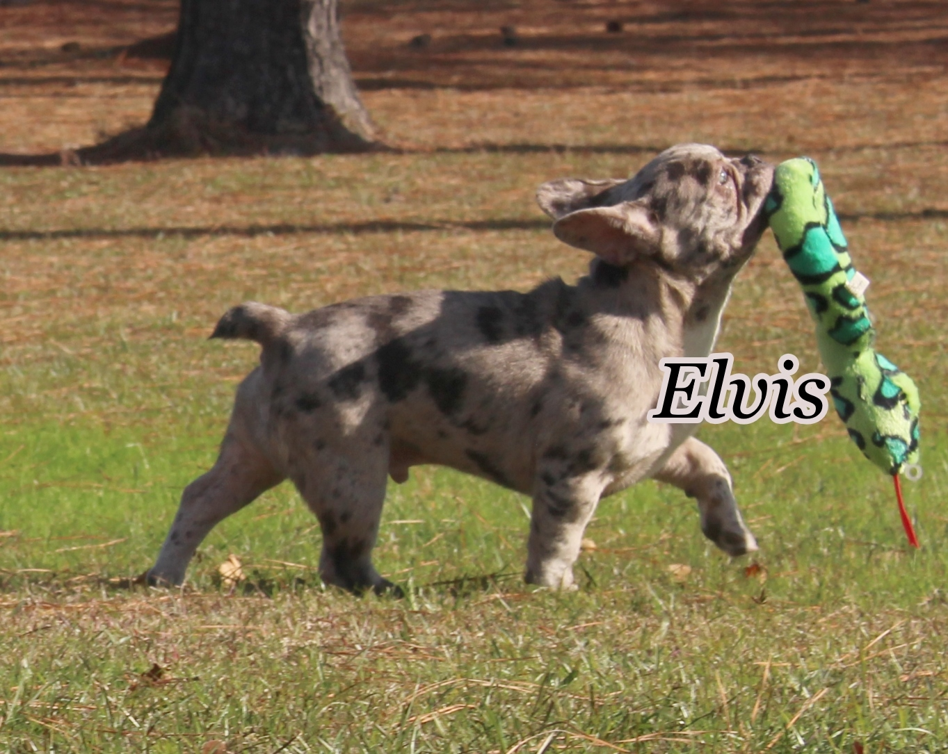 #FrenchBulldogPuppies #MerleFrenchBulldog #Frenchie #AvailablePuppies #AKCRegFrenchBulldog #SouthernTerritoryFrenchies #Elvis