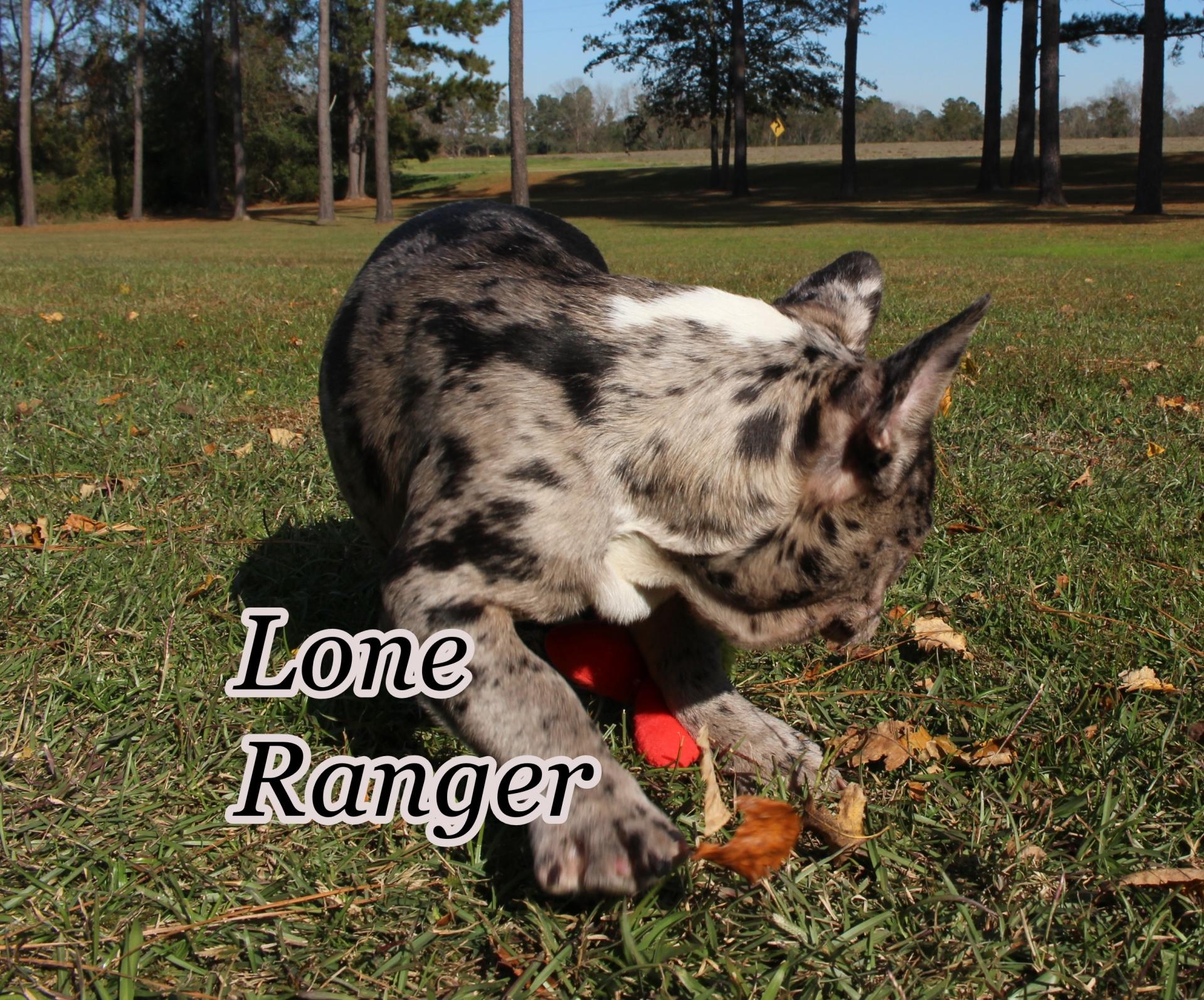 #FrenchBulldogPuppies #MerleFrenchBulldog #Frenchie #AvailablePuppies #AKCRegFrenchBulldog #SouthernTerritoryFrenchies #LoneRanger