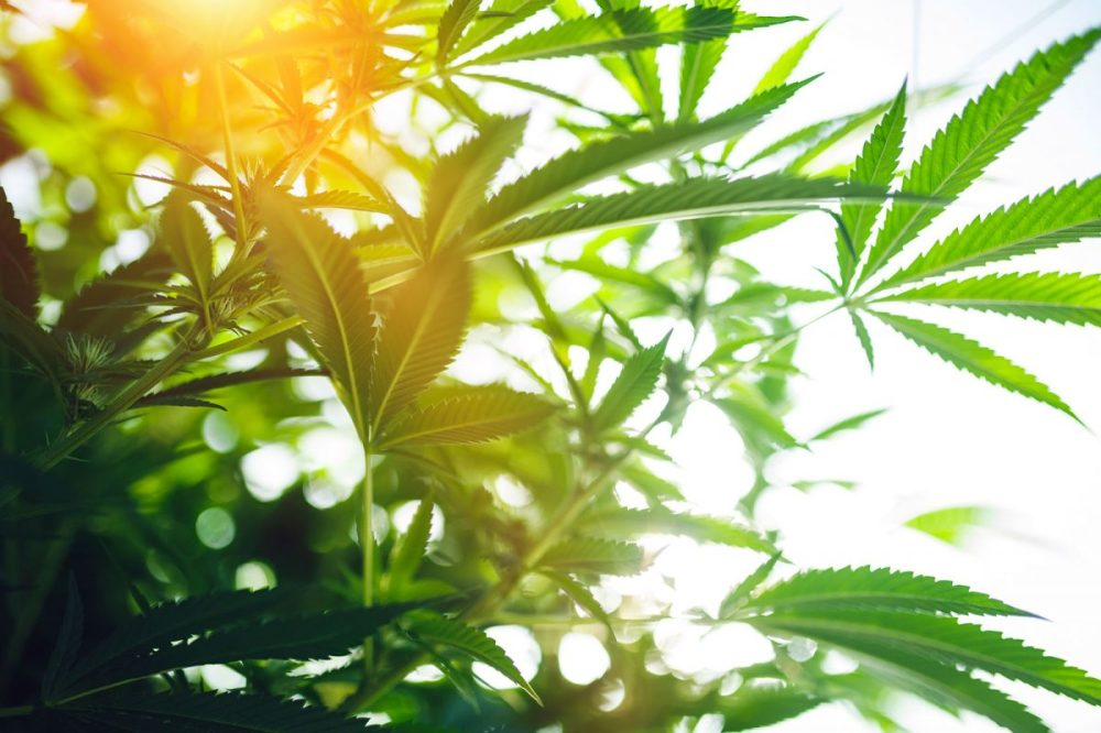 Online Weed Dispensary: Convenience Of Purchasing Cannabis Online