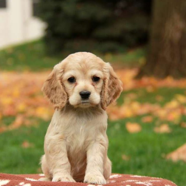 Factors to Consider When Buying a Puppy