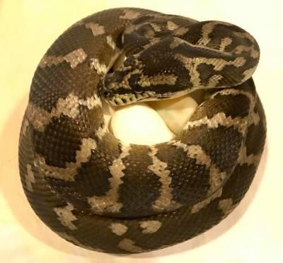 Pairing #4 Papuan Carpet Pythons