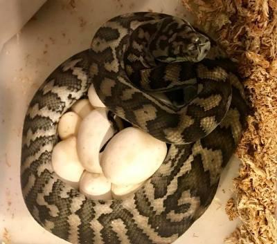 Pairing #9 Ghost Carpet Pythons