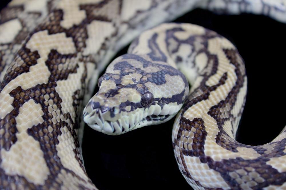Carpet Python Complex 101- Coastal carpet pythons