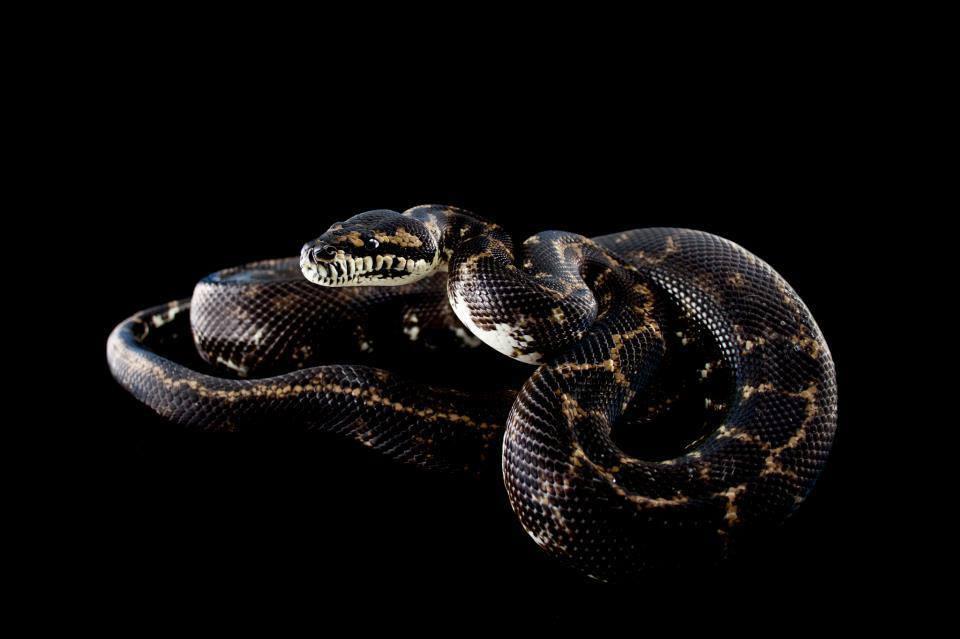 The Melanistic West Papuan carpet python project.