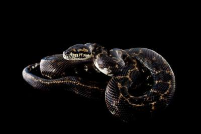 The Melanistic West Papuan carpet python project.