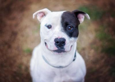 Factors to Consider When Buying a Pitbull Puppy