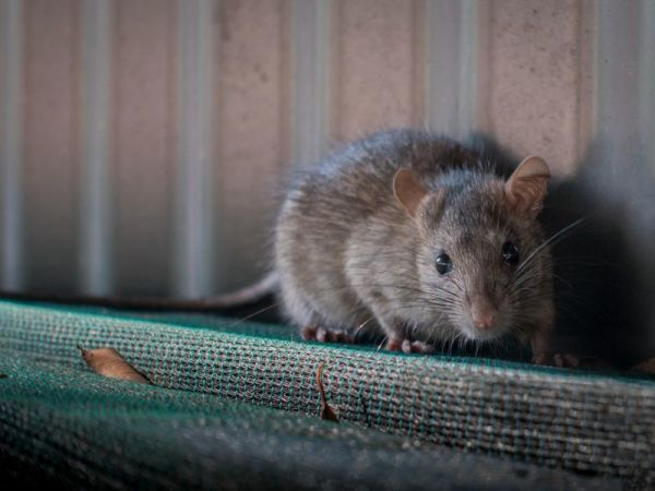 Effective Remedies to Getting Rid of Rats from Your Home