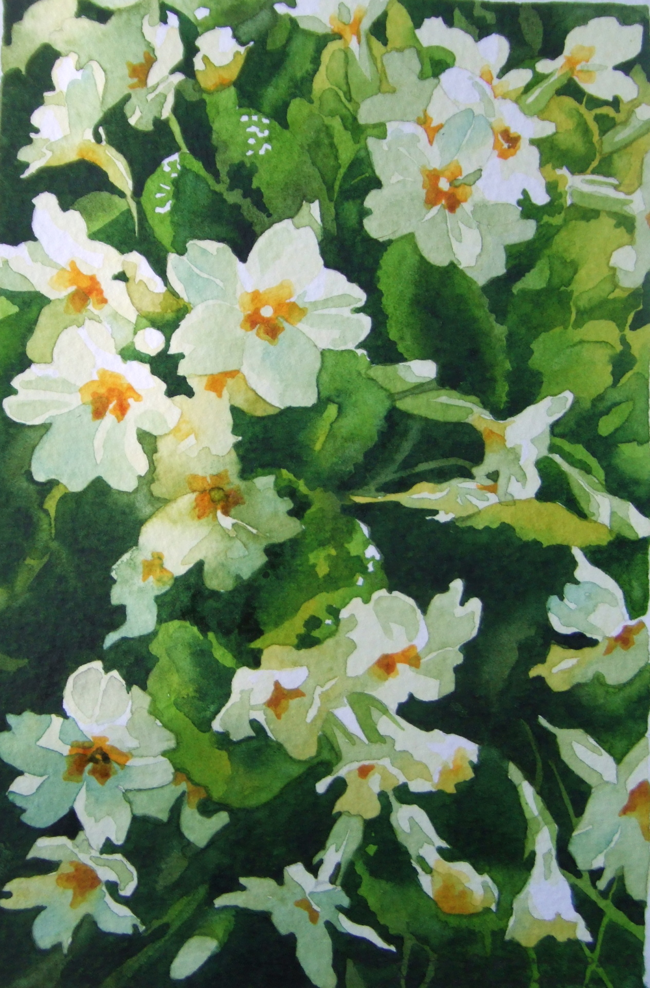 Early morning primroses