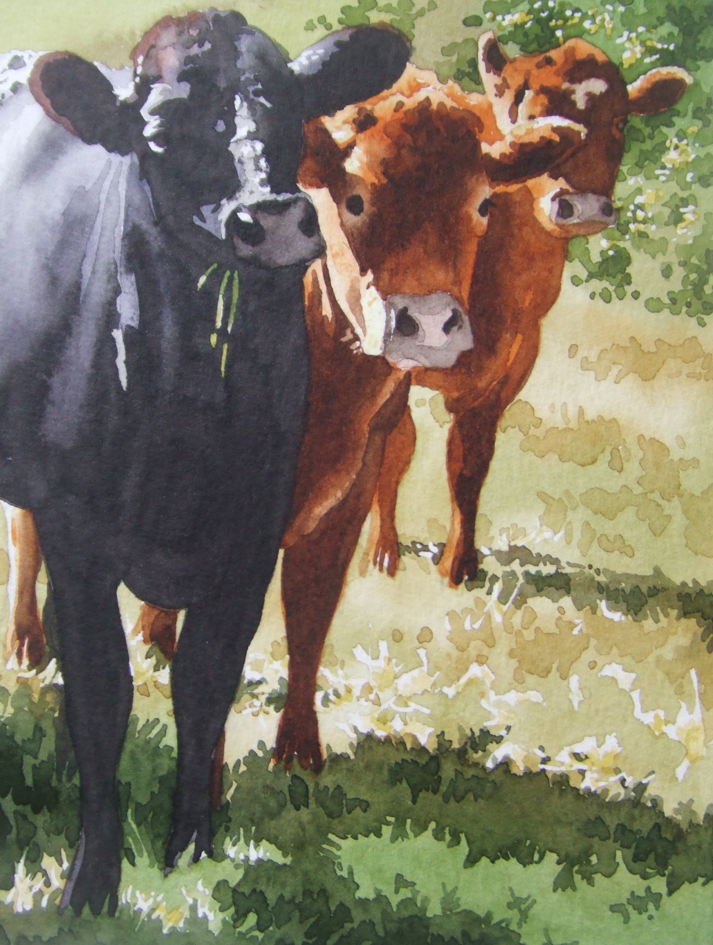 Cows come looking
