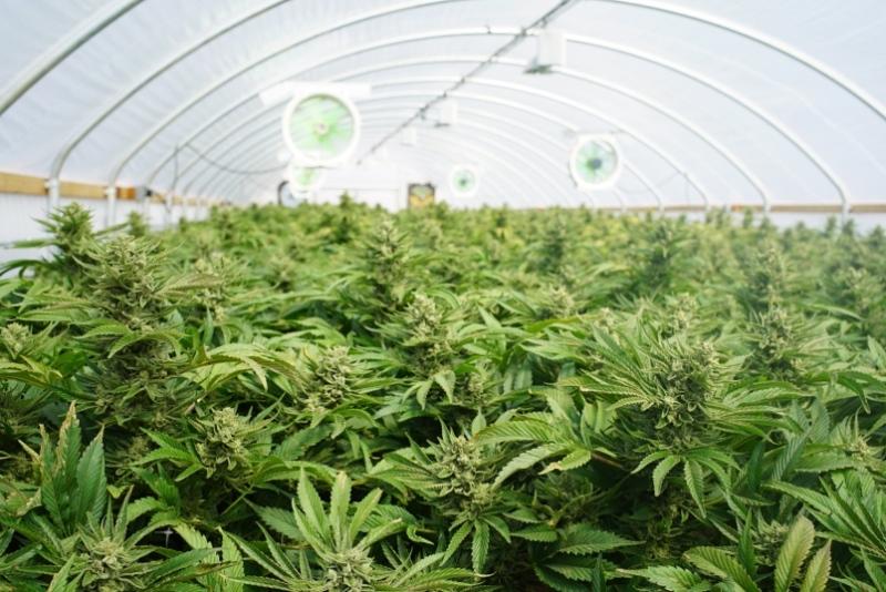 Benefits of Using Cannabis Grow Box