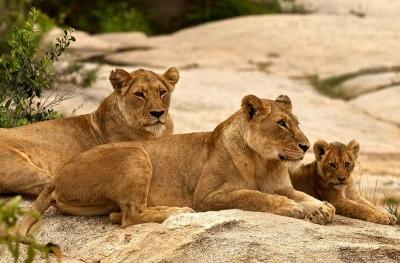парк крюгера львы