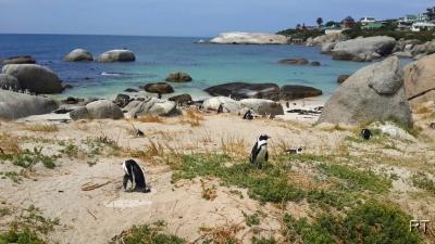 пингвины юар
