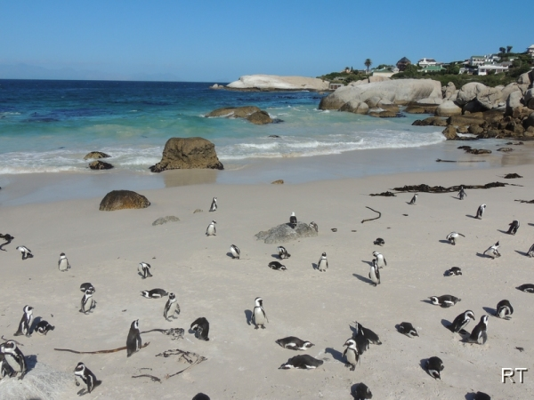 Пингвины на Мысе Доброй Надежды