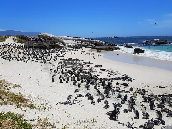 Пингвины в Кейптауне