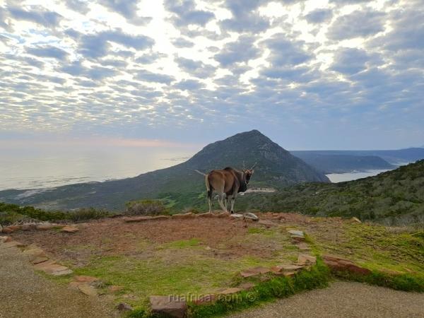 Антилопы на Мысе Доброй Надежды