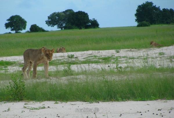 Львы в Парке Чобе
