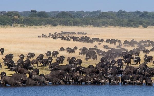 зимбабве сафари буйволы