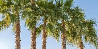 Florida's Palm Trees Threatened by Invasive Disease