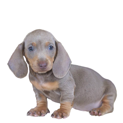 Blue Dachshund Puppies For Sale | Mississippi | (601) 590-2039