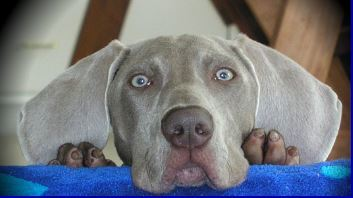 Blue Weimaraner Puppies For Sale | Call Us (417) 326-9218