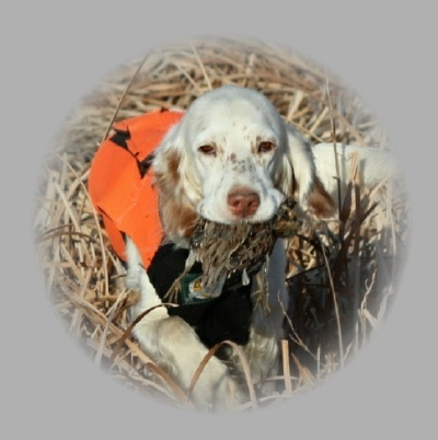 They have great character, intelligence, are affectionate and make superior hunting companions as well as a family pet.  They are well trusted and exceptional with children.  ALL of our breeding dogs are OFA.   Our dogs are registered with FDSB and AKC.