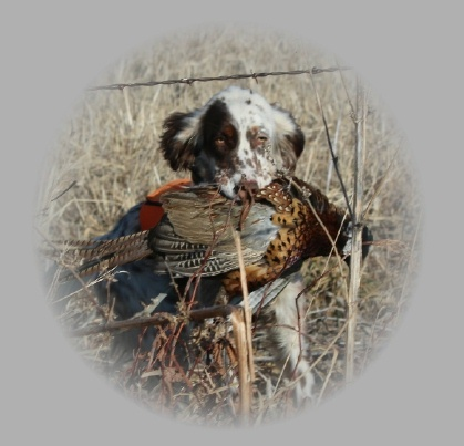 We are upland hunters and hunt all of our dogs on wild birds.   All of our dogs have a strong desire to hunt and they hunt at a close range.  Beirl's English Setters also retrieve!  We travel a lot so they have been exposed to and have hunted a variety of wild birds.