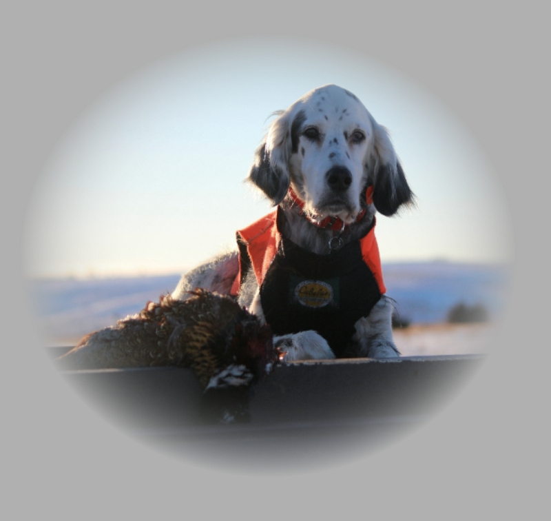 If you're looking for a wonderful, loving family dog with exceptional hunting skills, we have what you're looking for.