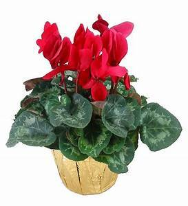 Seasonal Cyclamen
