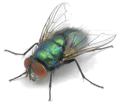 Blow Fly PNG d400 - How To Get Rid Of Common Green Bottle Fly
