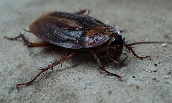How to Get Rid of roaches Will Roaches Ruin Wiring on