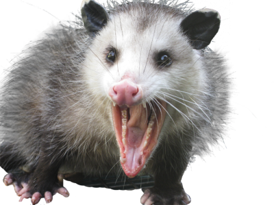 How To Get Rid Of Opossums Possums
