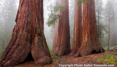Giant Redwoods Misty Day