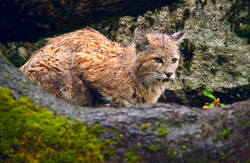 Rainy day Bobcat