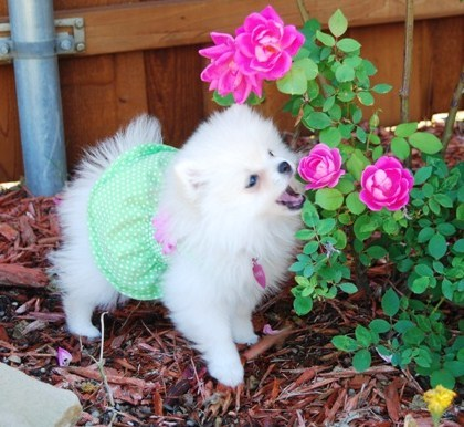 Pink puppy eating rose