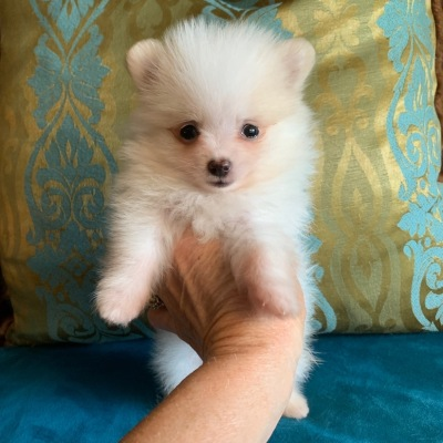 Pomeranian, Pomeranian puppy, Pomeranian puppies, Pomeranian puppies