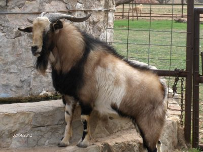 Kiko Goats for Sale - Texas   J&A Ranch - Call Now