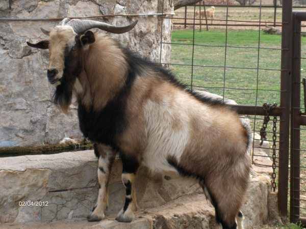Kiko Goats for Sale - Texas | J&A Ranch - Call Now