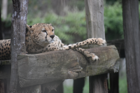 Photo   Cheetah   Subhayan Das