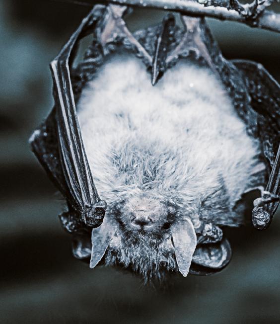 Il pipistrello