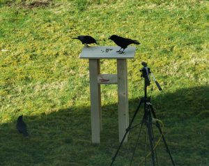 Two crows are perched on a white table, with a video camera facing them, another crow is on the ground.