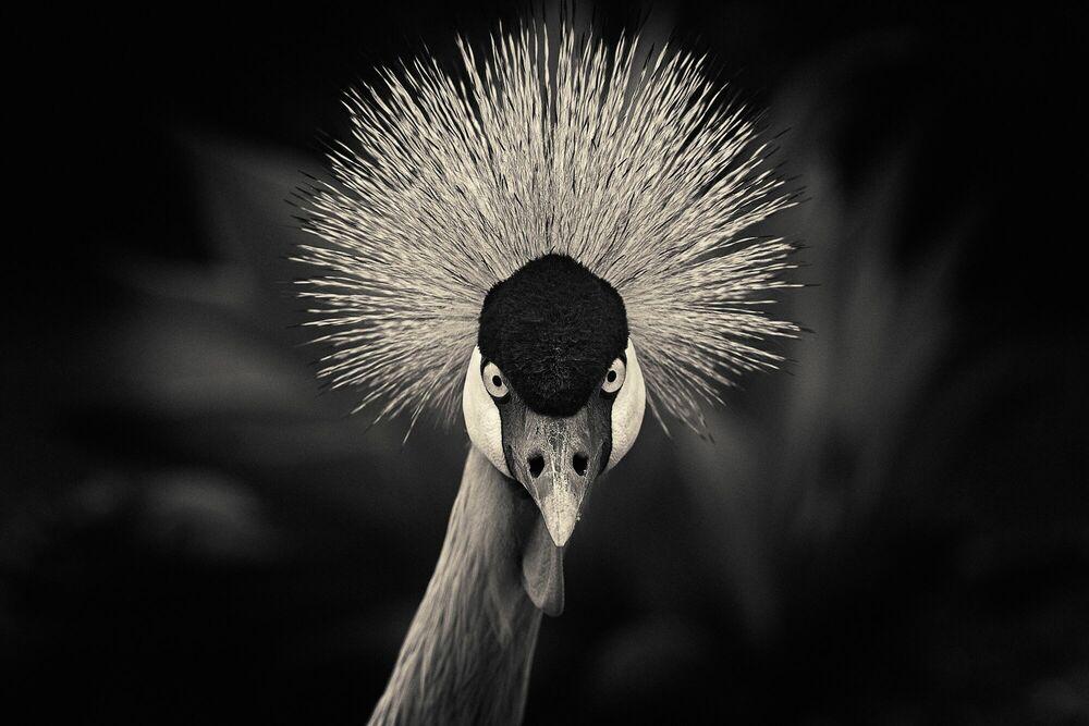 Fotografia Crowned crane - ANTTI VIITALA - Pittura di immagini