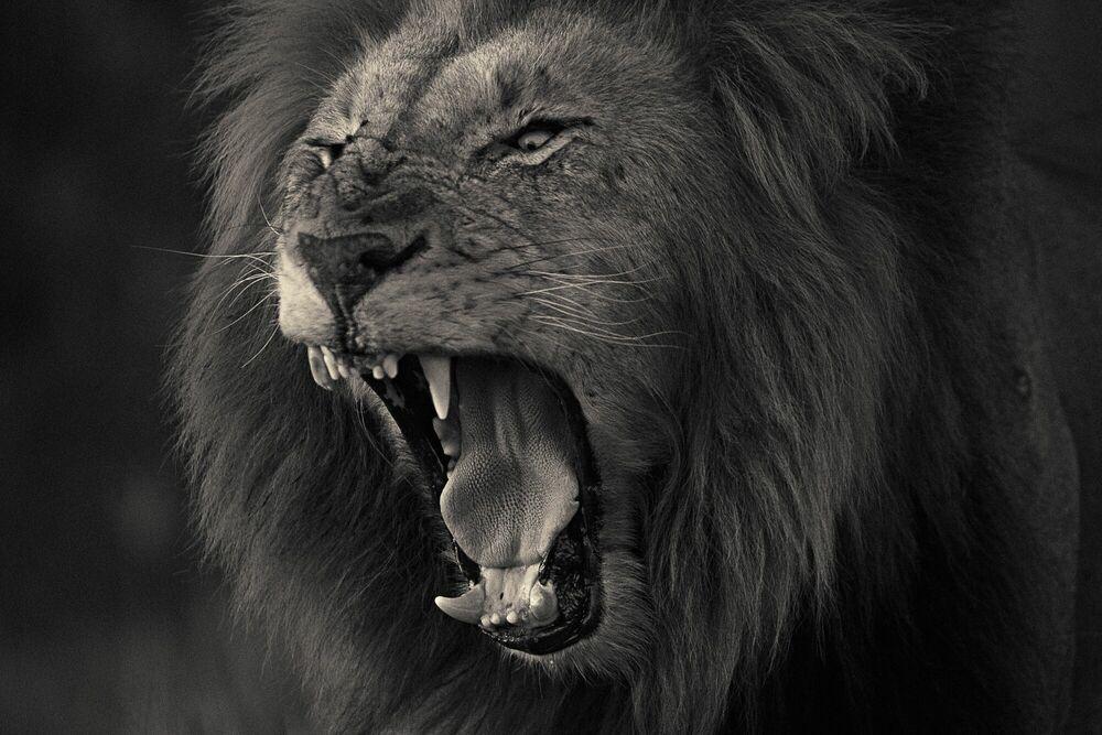 Photographie Kruger lion 2 - ANTTI VIITALA - Tableau photo