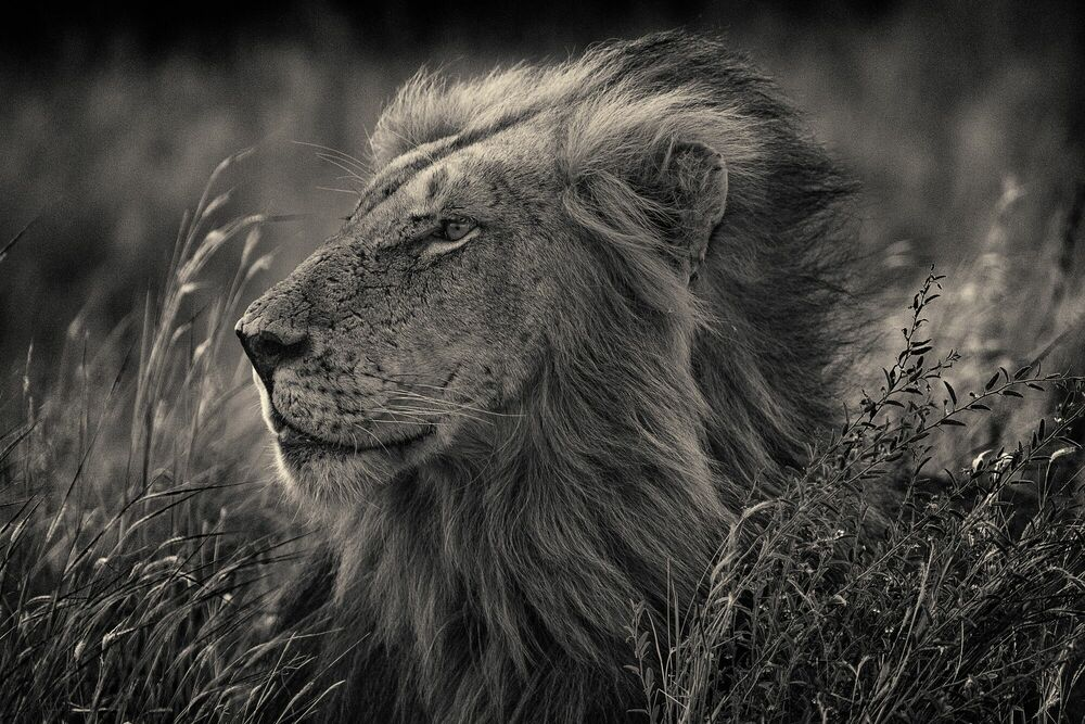 Photographie Kruger lion - ANTTI VIITALA - Tableau photo