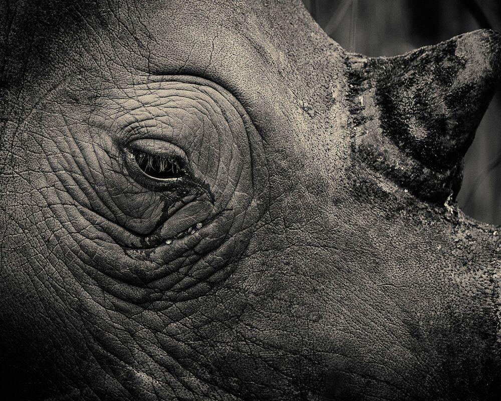 Fotografia Rhinotears - ANTTI VIITALA - Pittura di immagini